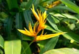 Helicionia Attracts Mosquitoes